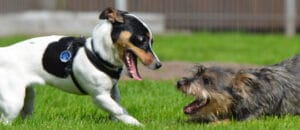 Two small dogs playing together
